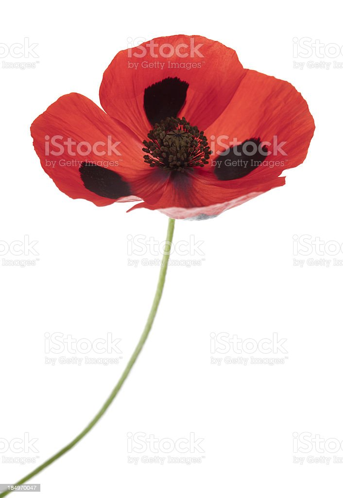 Ladybird Poppy (Papaver comutatum) royalty-free stock photo