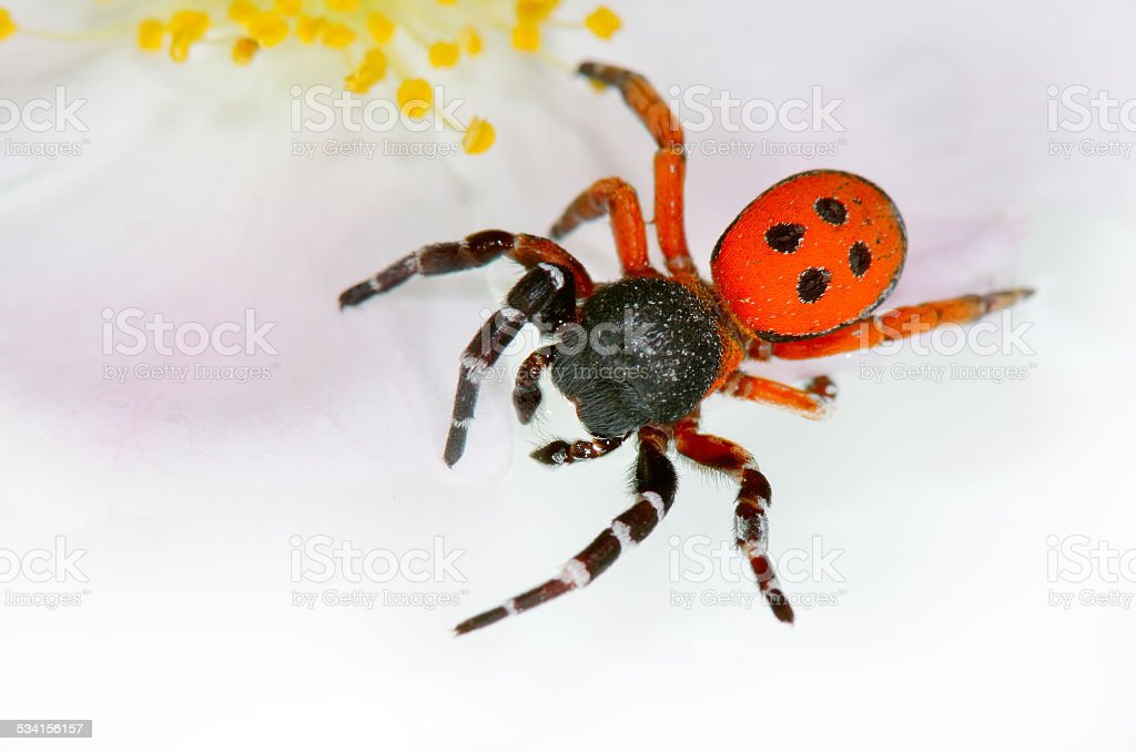 ladybird spider (eresus cinnaberinus) stock photo