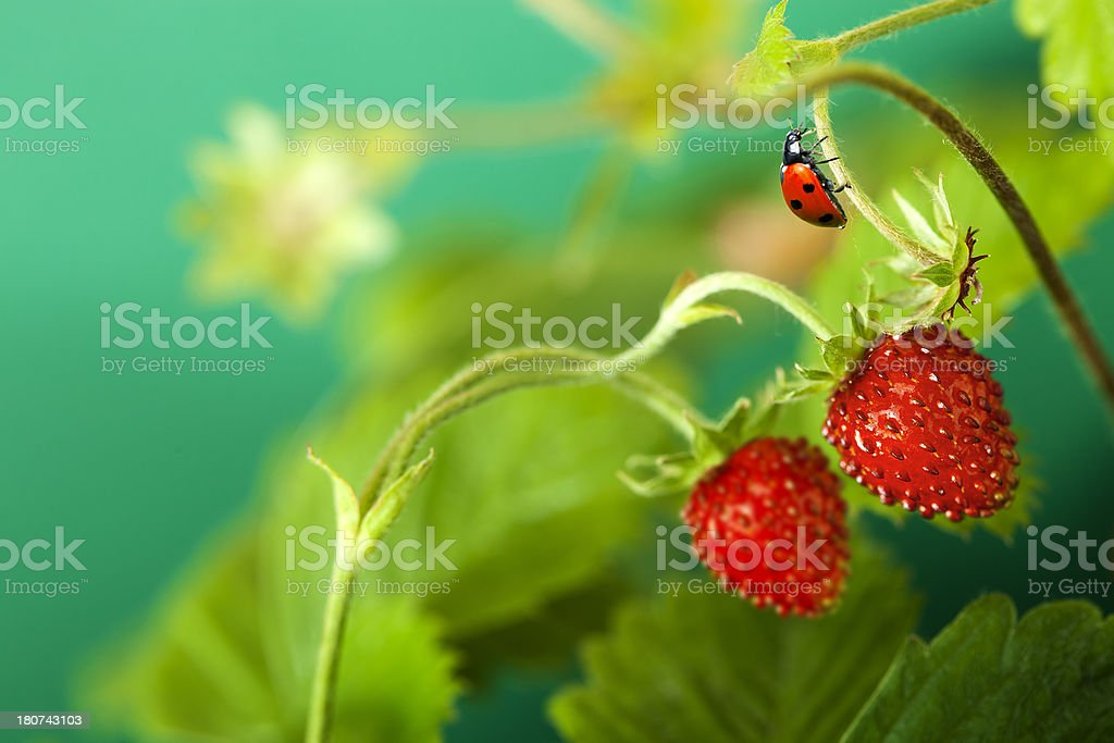 Ladybird walking on stem strawberries. royalty-free stock photo
