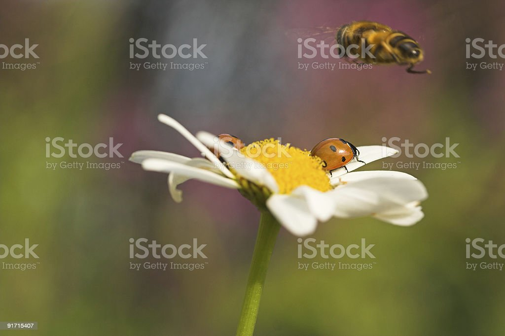 Ladybirds and hoverfly royalty-free stock photo