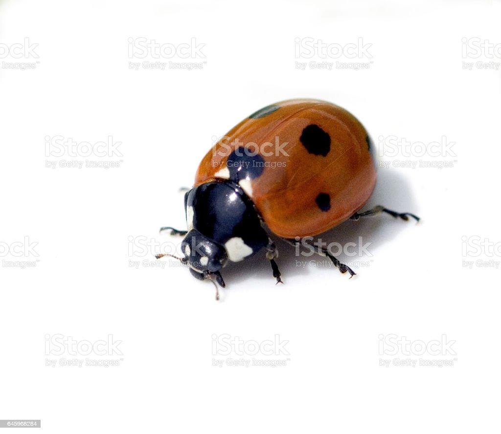 Ladybirds, Coccinella semptempunctata stock photo