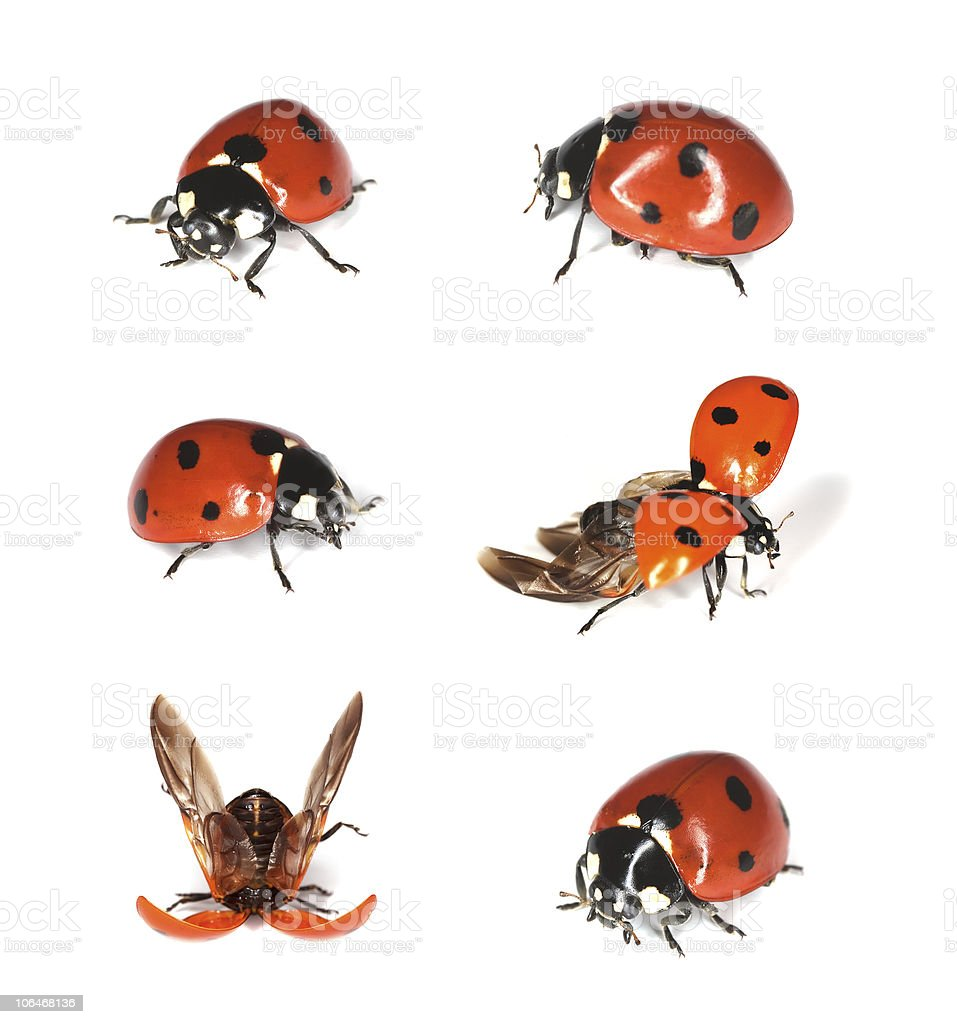 Ladybirds isolated on white background. royalty-free stock photo