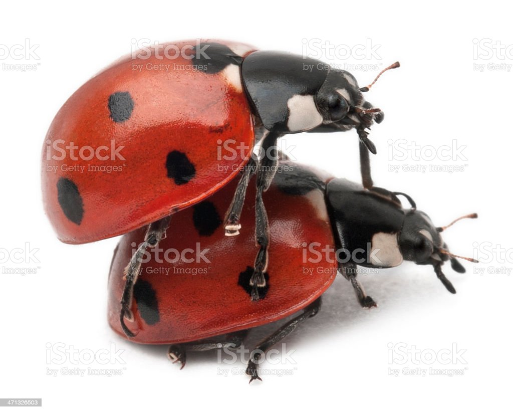Ladybirds mating on white background stock photo