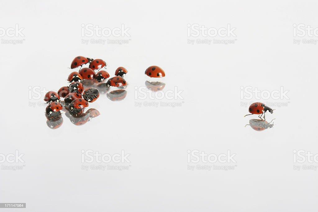 ladybirds, one getting away stock photo