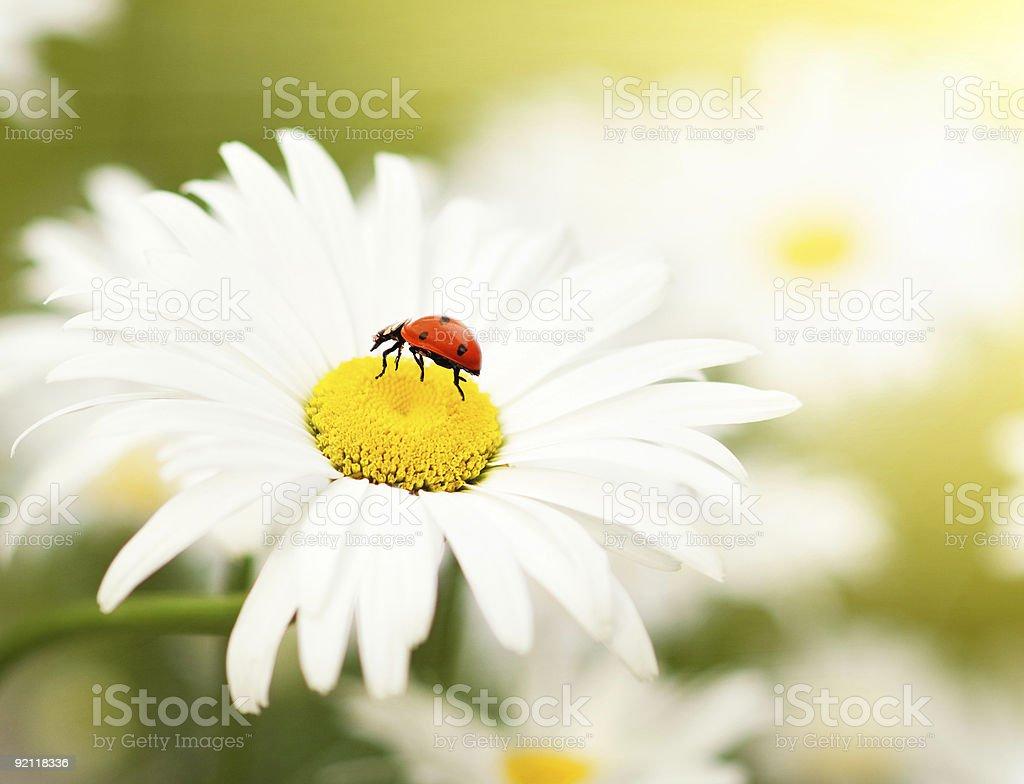 Ladybud sitting on a chamomile flower royalty-free stock photo