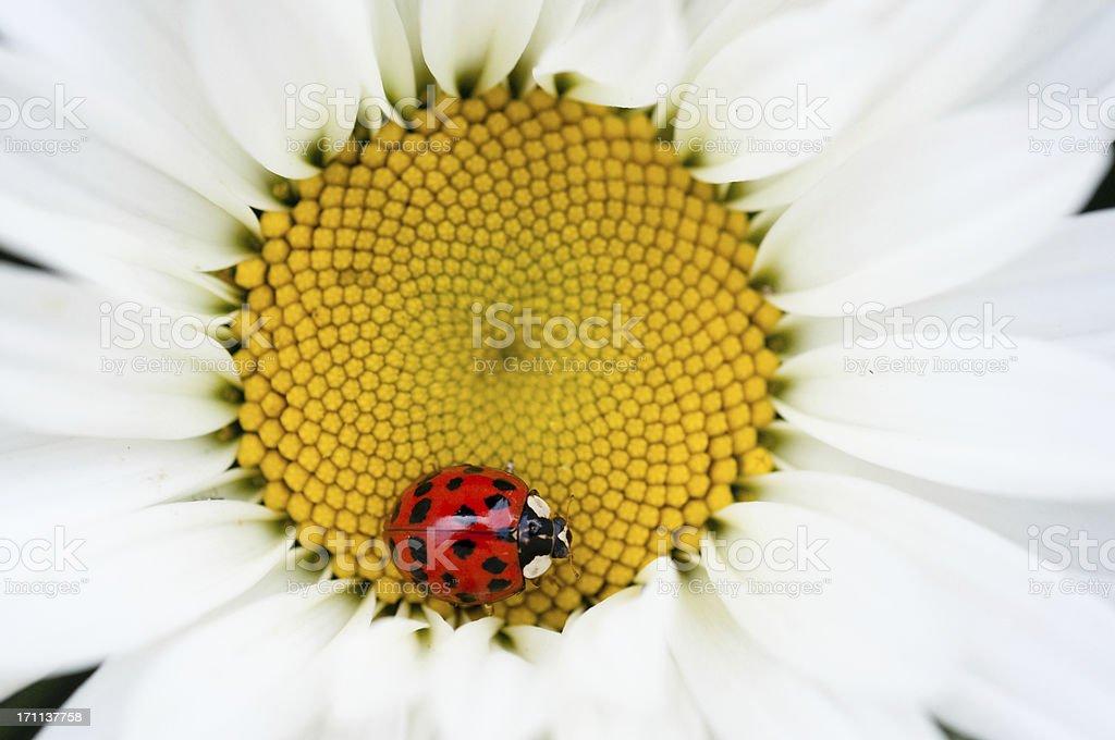 ladybug and daisy royalty-free stock photo