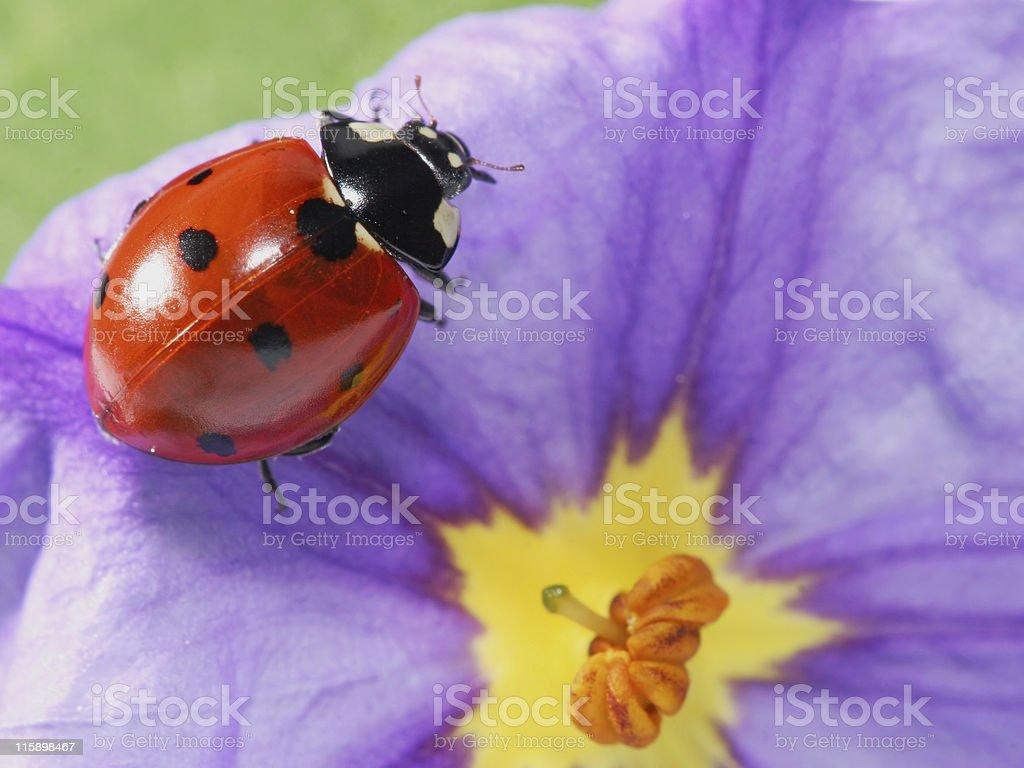 Ladybug and flower 02 stock photo