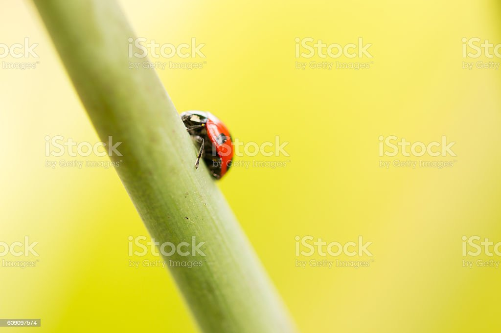 ladybug and  green branch stock photo