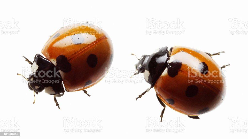 Ladybug and Ladybird royalty-free stock photo