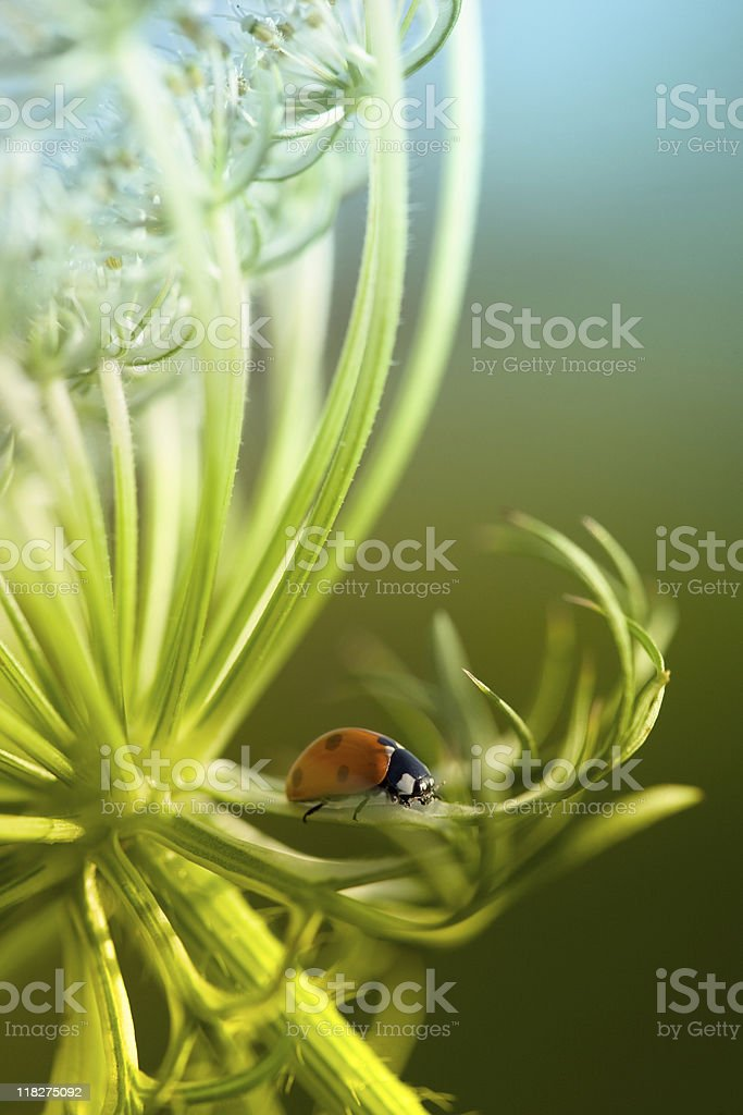 Ladybug and Queen Anne's Lace wildflower royalty-free stock photo