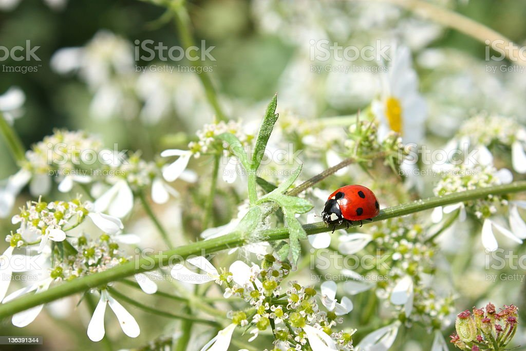 Ladybug and Queen Anne's Lace wildflower stock photo