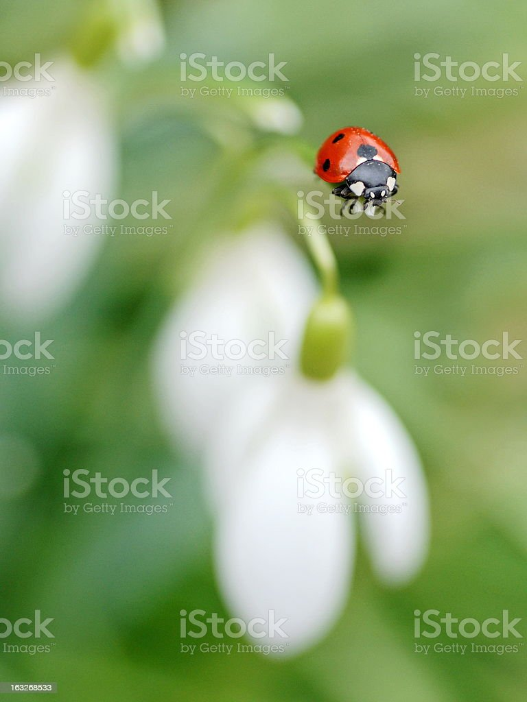 Ladybug and snowdrop. royalty-free stock photo