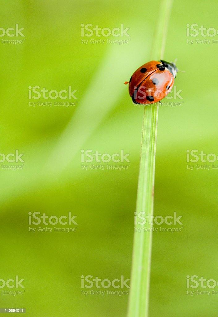 Ladybug climbing on a blade of grass royalty-free stock photo