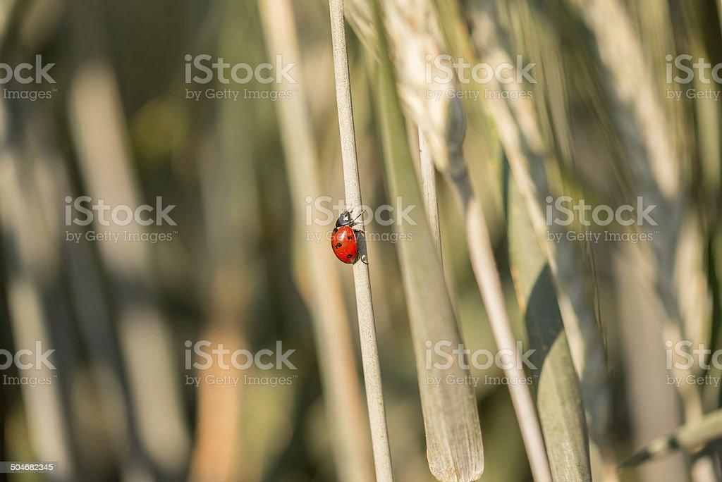 Ladybug climbing up a grass stalk stock photo