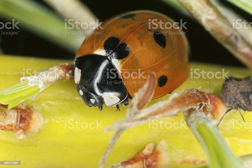 Ladybug, Coccinella septempunctata predatory on aphids royalty-free stock photo