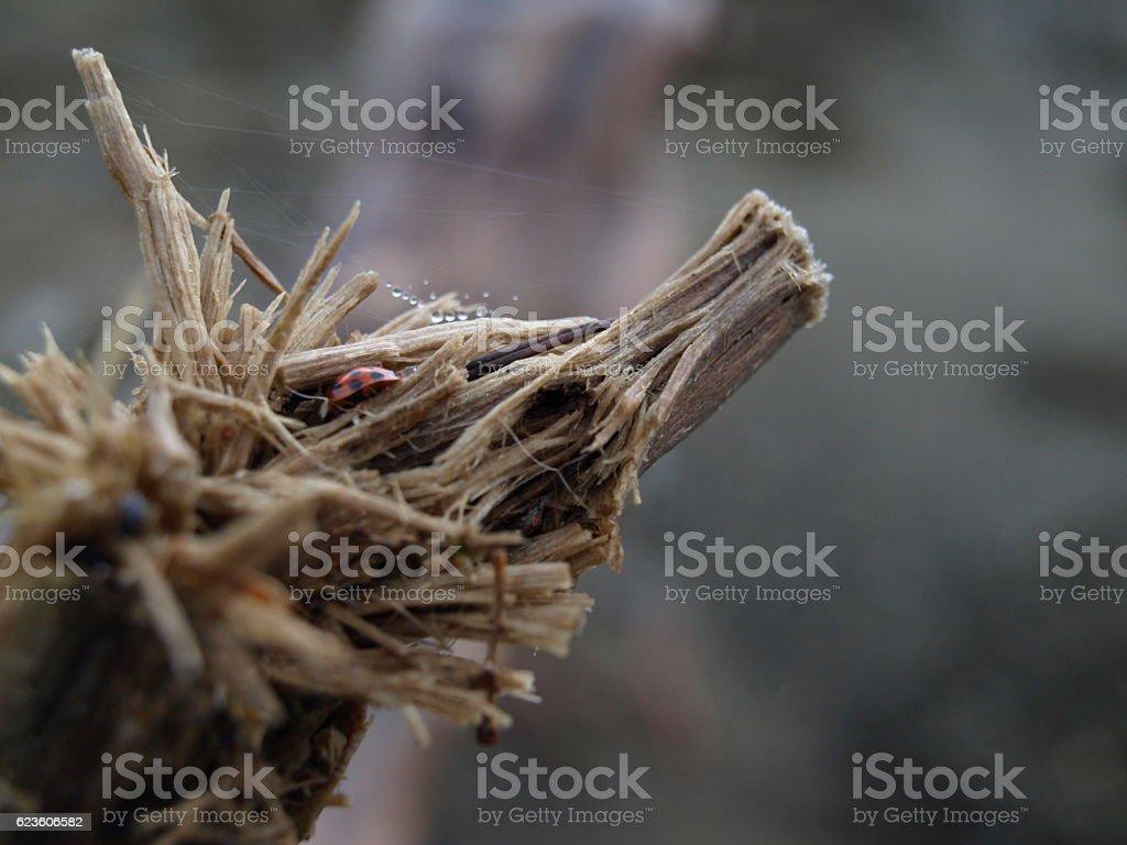 Ladybug crawling into broken tree stump stock photo