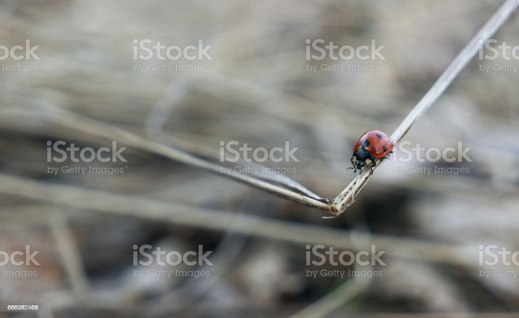 Ladybug crawling on a spikelet stock photo