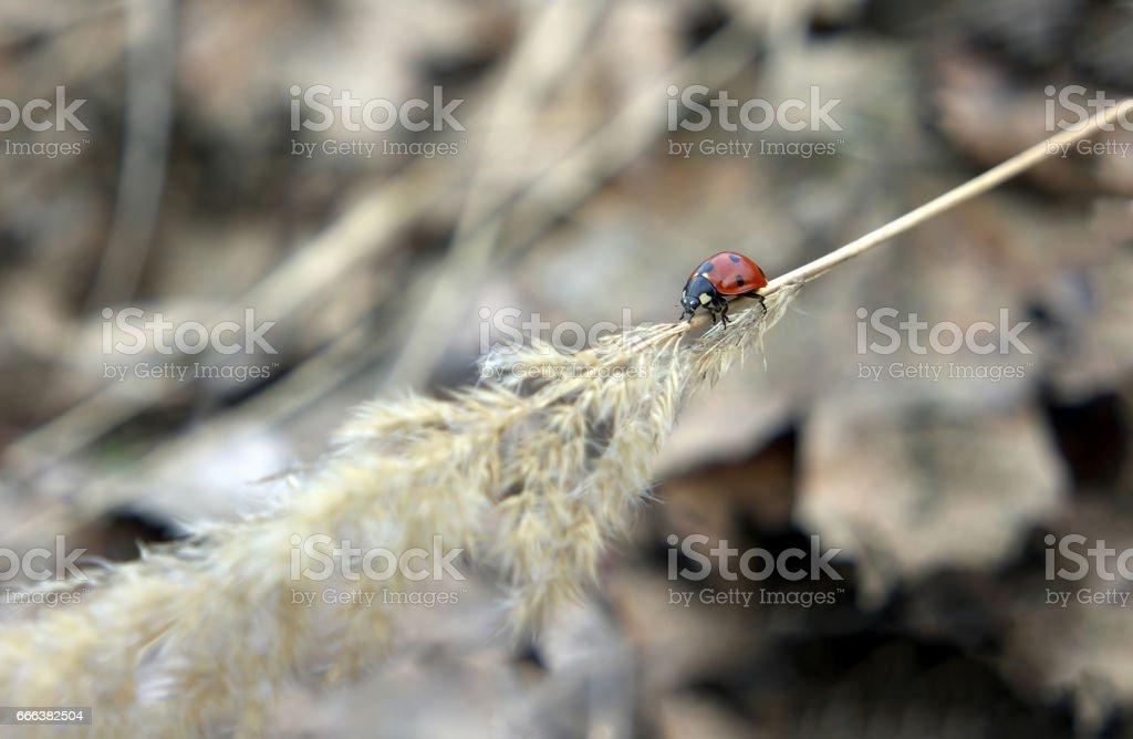 Ladybug crawling on spikelet down stock photo