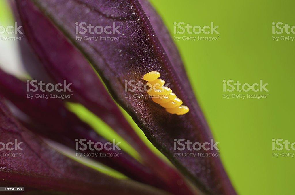 Ladybug eggs on leaf royalty-free stock photo