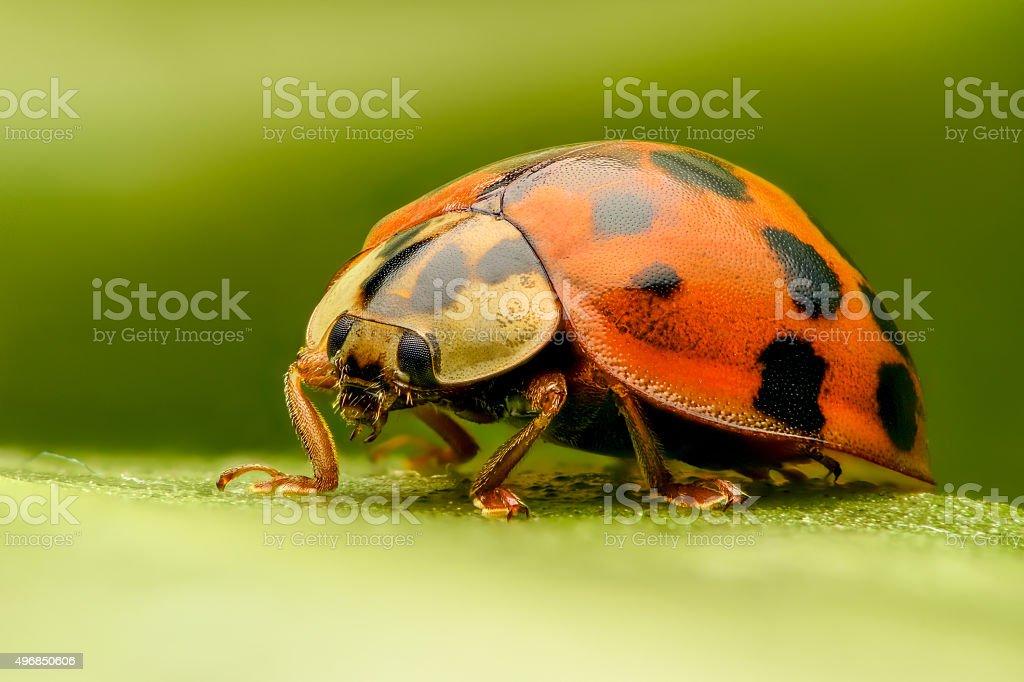 Ladybug extreme closeup stock photo