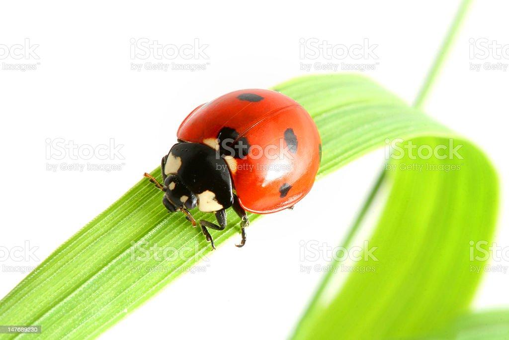 ladybug go to you royalty-free stock photo