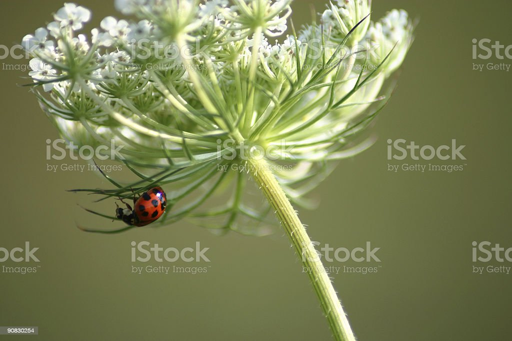Ladybug Hanging out royalty-free stock photo