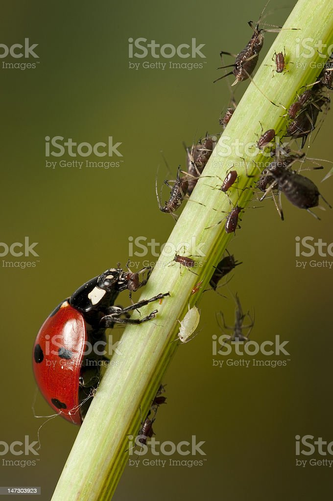 Ladybug hunting aphids stock photo