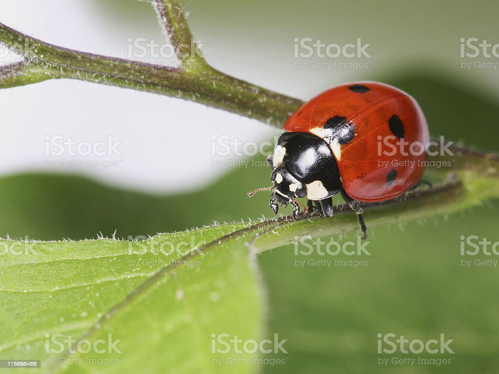 Ladybug in a twig 01 stock photo