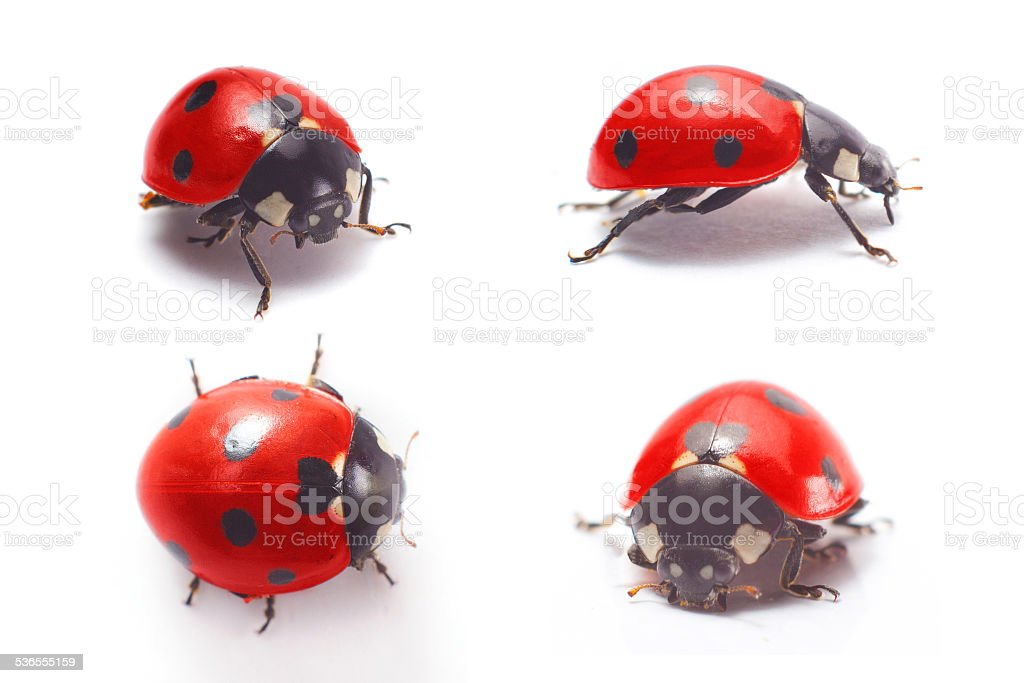 ladybug isolated stock photo