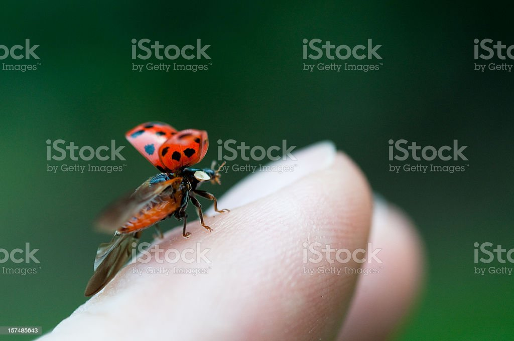 ladybug just before flying away from fingertip stock photo