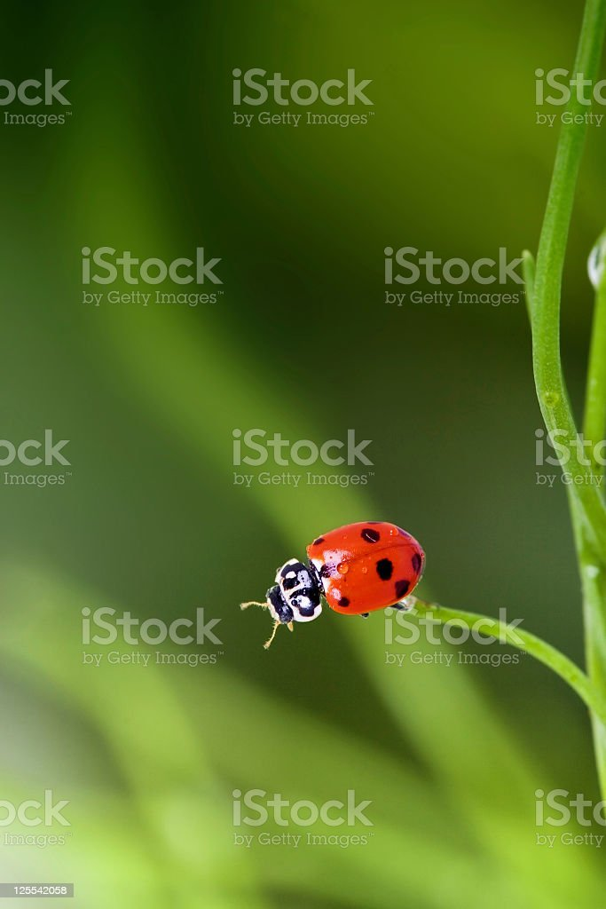 Ladybug, Ladybird in mellow green scene royalty-free stock photo