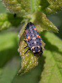 ladybug larva - macro