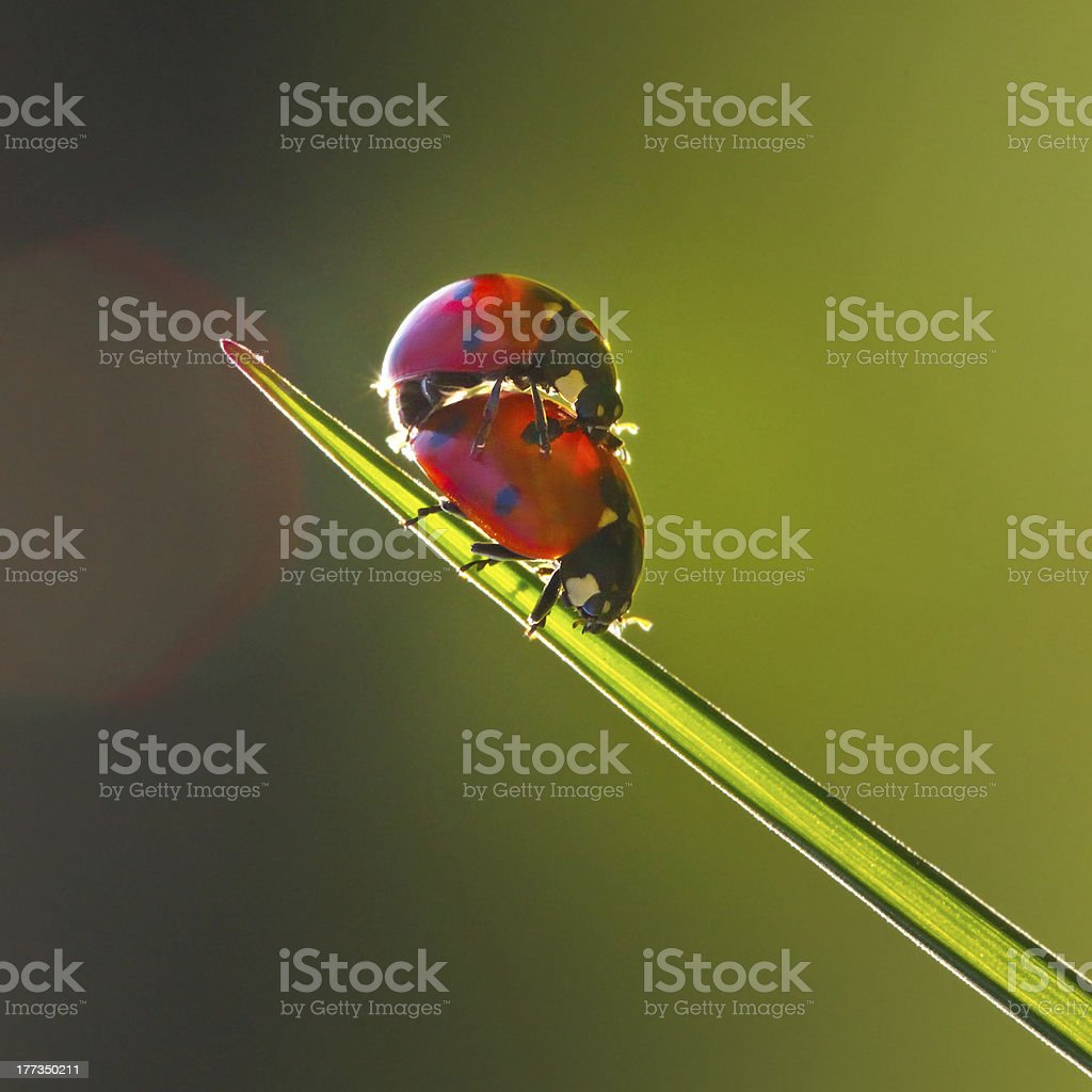 Ladybug Love stock photo