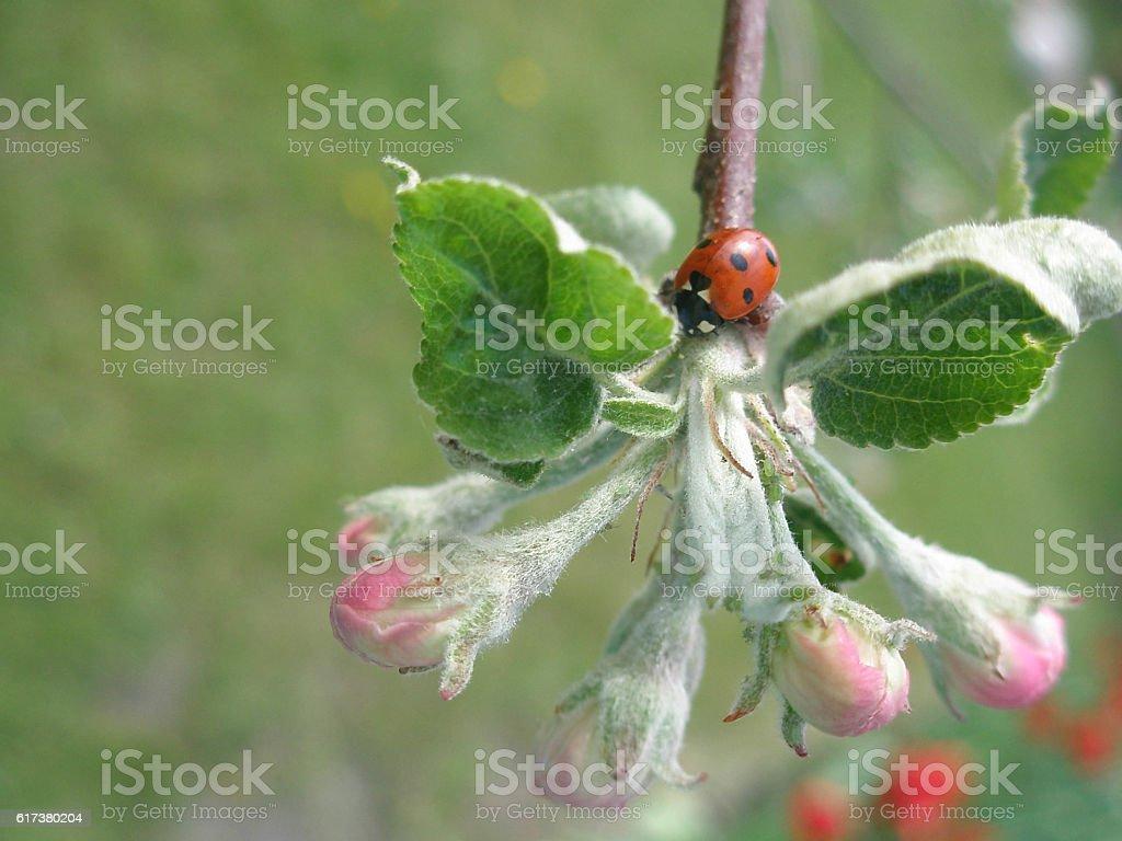 ladybug on a branch stock photo