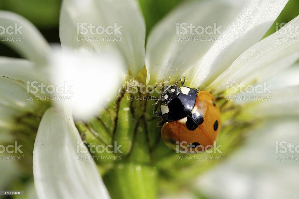 Ladybug on a daisy 2 royalty-free stock photo