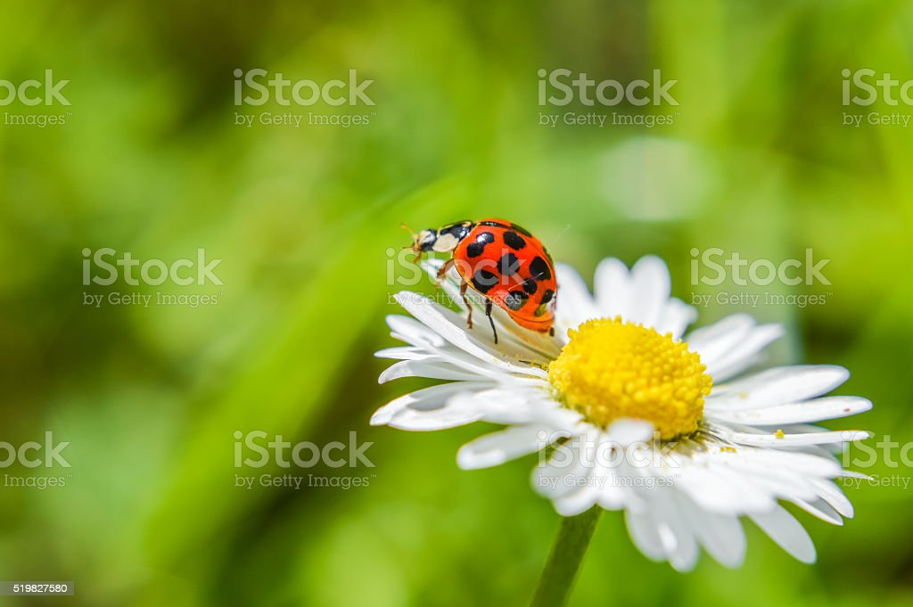 ladybug on a daisy flower close up stock photo