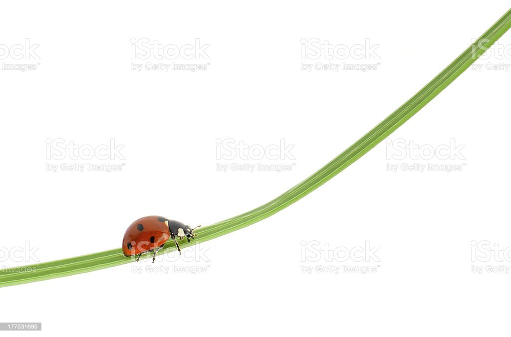 Ladybug on a green blade of grass royalty-free stock photo