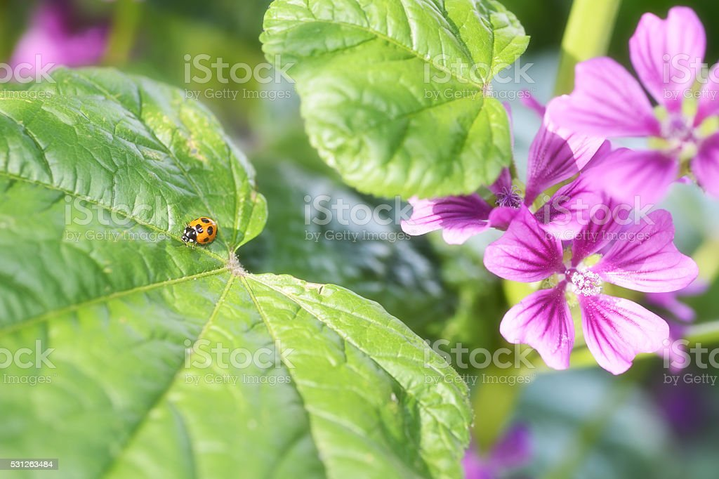 Ladybug on a leaf of common mallow in early summer. stock photo