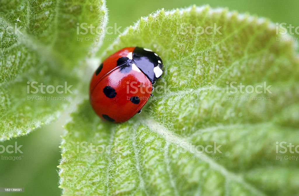 Ladybug on a leaf stock photo