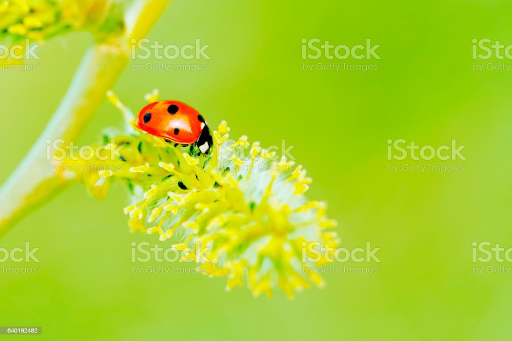 Ladybug on a pussy willow catkins (with copyspace) stock photo
