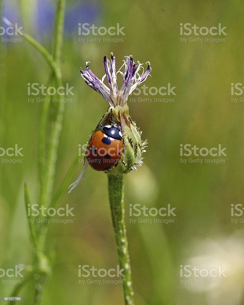 ladybug on a thistle royalty-free stock photo