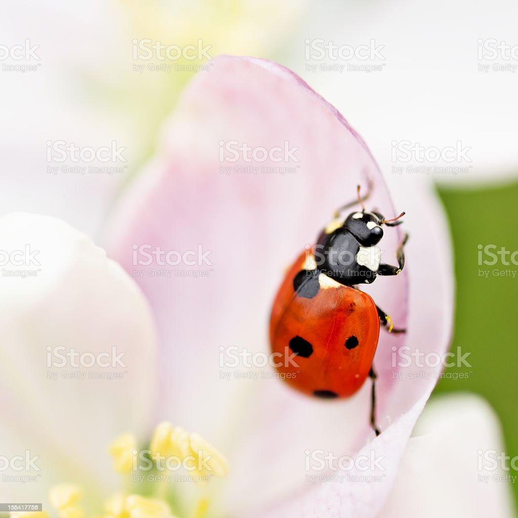 Ladybug on an Apple Blossom royalty-free stock photo