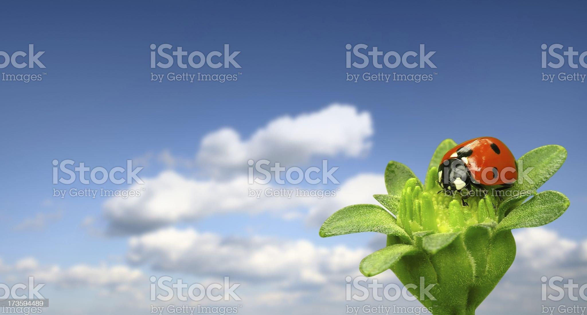 Ladybug on blue sky royalty-free stock photo
