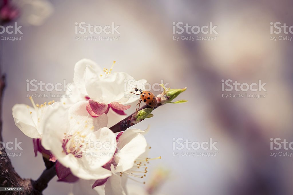 Ladybug on cherry blossom royalty-free stock photo