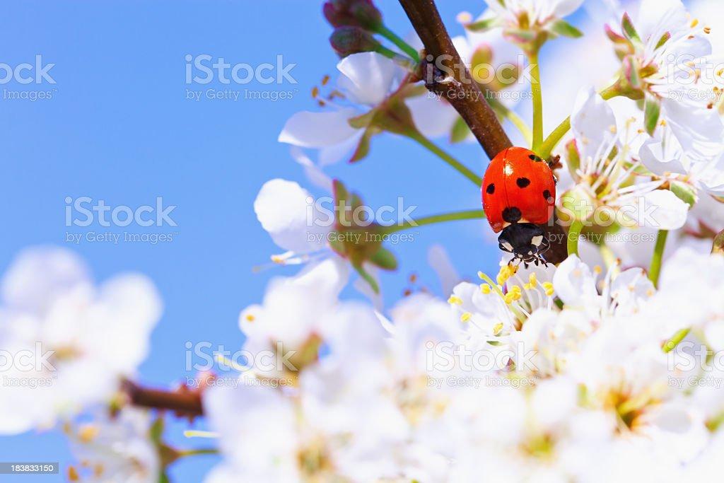 Ladybug on cherry blossom royalty-free stock photo