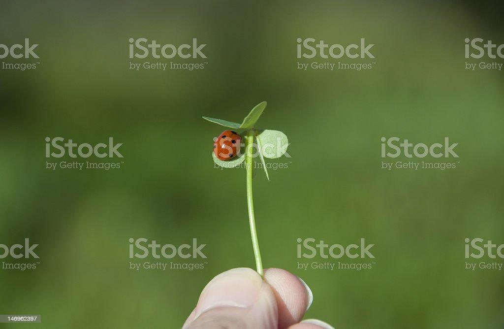 Ladybug on clover leaf royalty-free stock photo