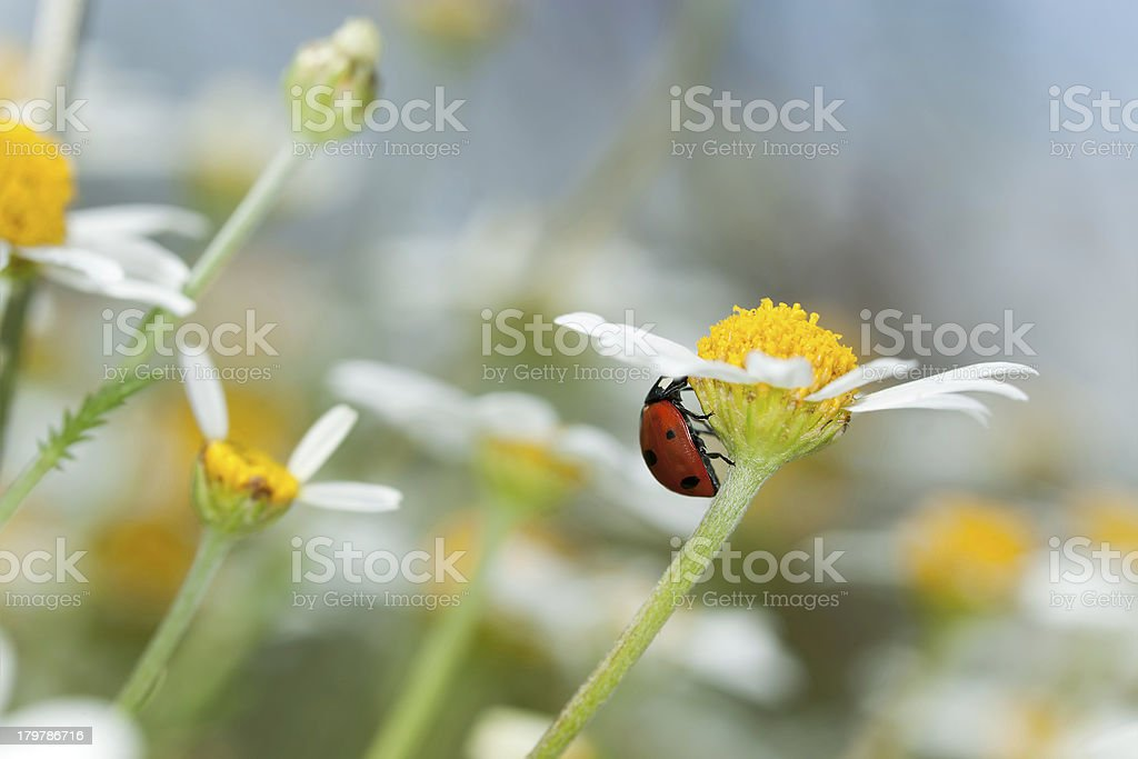 Ladybug on daisy, macro photo royalty-free stock photo