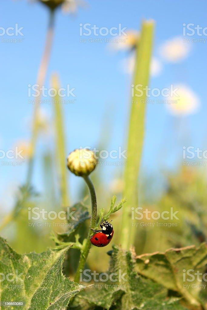 Ladybug on Daisy royalty-free stock photo