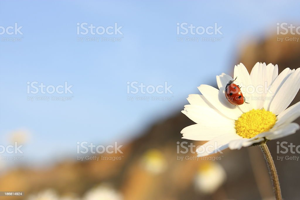 Ladybug on Daisy royalty-free stock photo