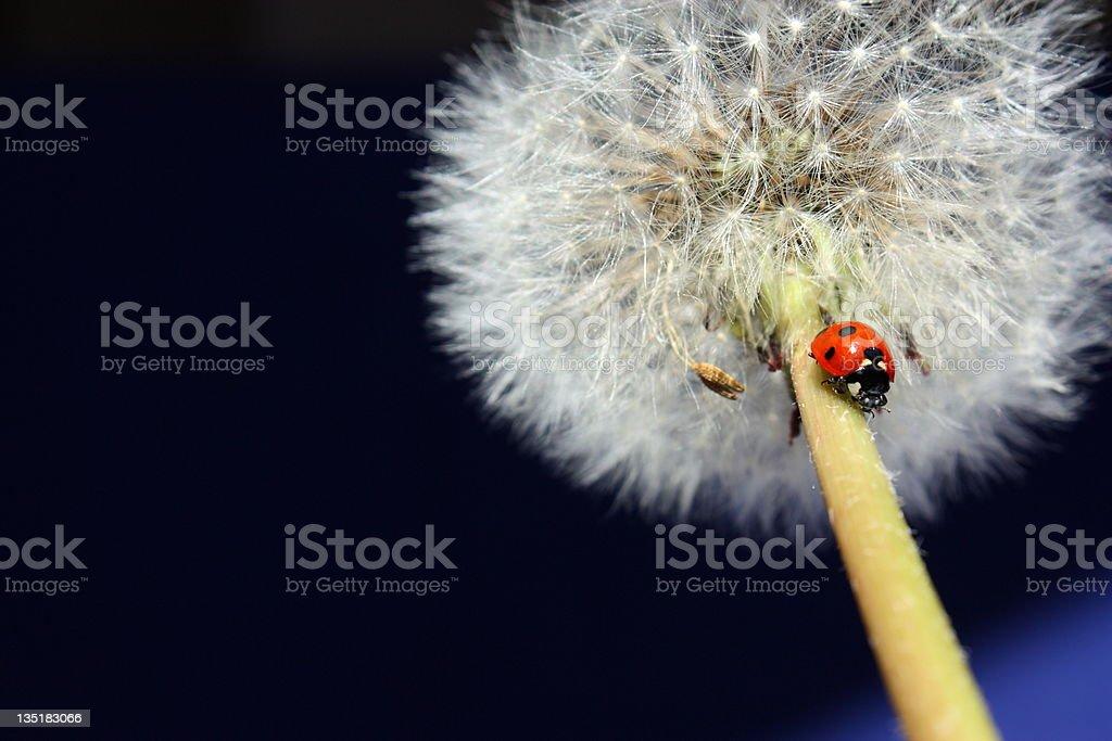 Ladybug on Dandelion stock photo